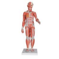 Цельная фигура с мышцами, двуполая, с внутренними органами, 33 части