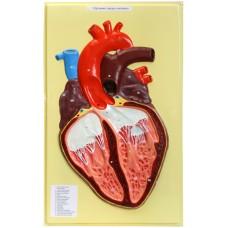 В10 Сердце человека (1 планшет, 42х66 см)