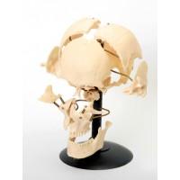 Кости черепа человека, смонтированные на одной подставке Р06К
