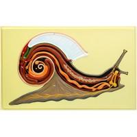 Х19 Внутреннее строение брюхоногого моллюска (улитка) (1 планшет, 66х42 см)