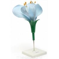 Модель цветка гороха К