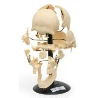 Р06 ДТ Череп человека (с разрозненными костями) Т