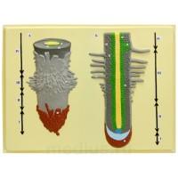 Д12 Клеточное строение корня (1 планшет, 42х66 см)