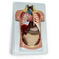 Анатомическая модель Торс человека (разборная модель 7 частей)