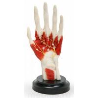 Н04 Кисть с прилегающими мышцами и нервами