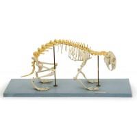 Х14 Скелет кролика (демонстрационный) ( 26х60х20 см/ 1,85 кг)
