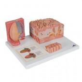 Модель языка из серии 3B MICROanatomy