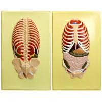 В21 Расположение органов грудной и брюшной полостей по отношению к скелету, вид спереди и сзади (2 планшета, 42х66 см)
