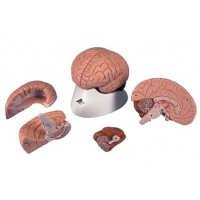 Модель мозга, 4 части