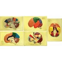 Барельефная модель Доли, извилины, цитоархитектонические поля головного мозга В03К (5 планшетов)