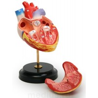 Н10 Модель сердца (демонстрационная) объемная из 2-х частей