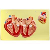 В30 Строение сердца человека (1 планшет, 66х42 см)
