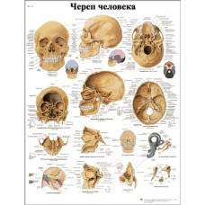 ZVR6131L Череп человека (плакат)