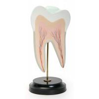С05 Строение нижнего коренного зуба с двумя корнями (в разрезе) (10х10х22 см/ 0,19 кг)